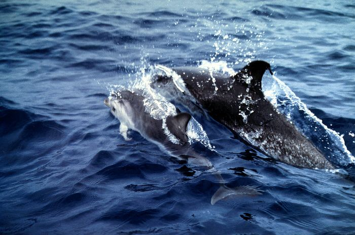 Delfin mit Baby vor Gomera