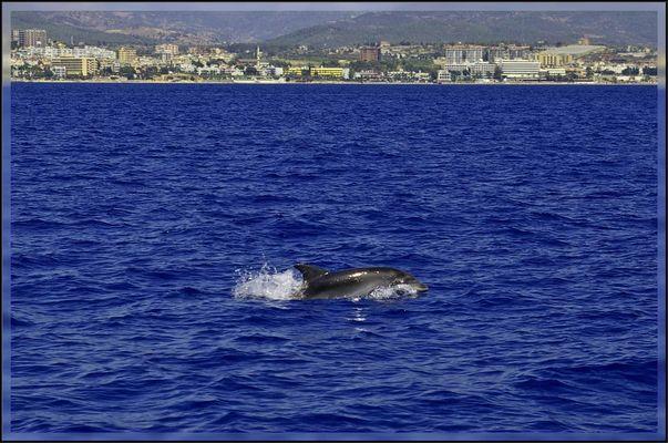 Delfin vor der Küste Alanya´s (Türkei)
