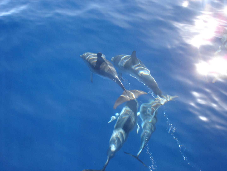 Delfin vor Gomera