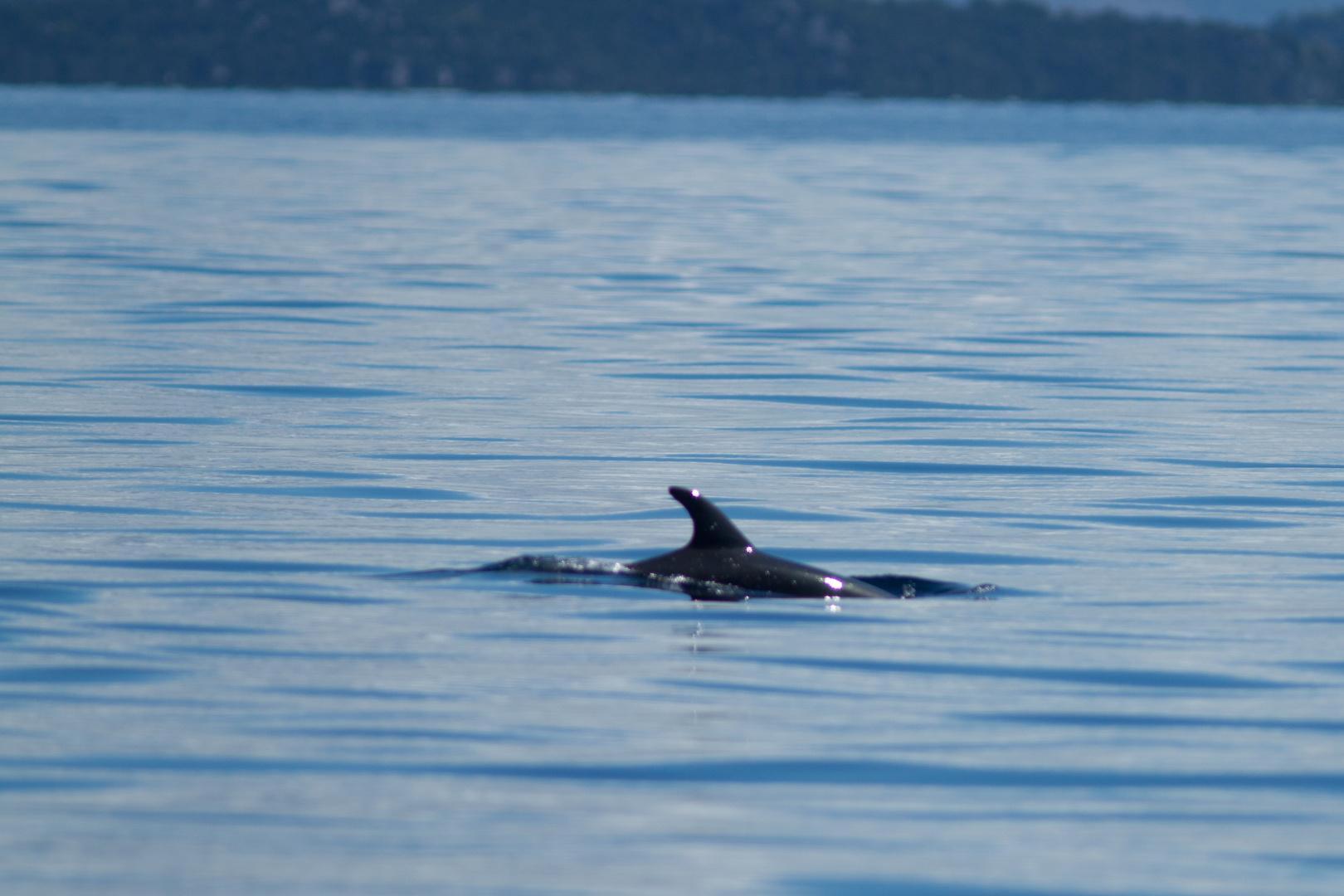 Delfin vor Murter 2