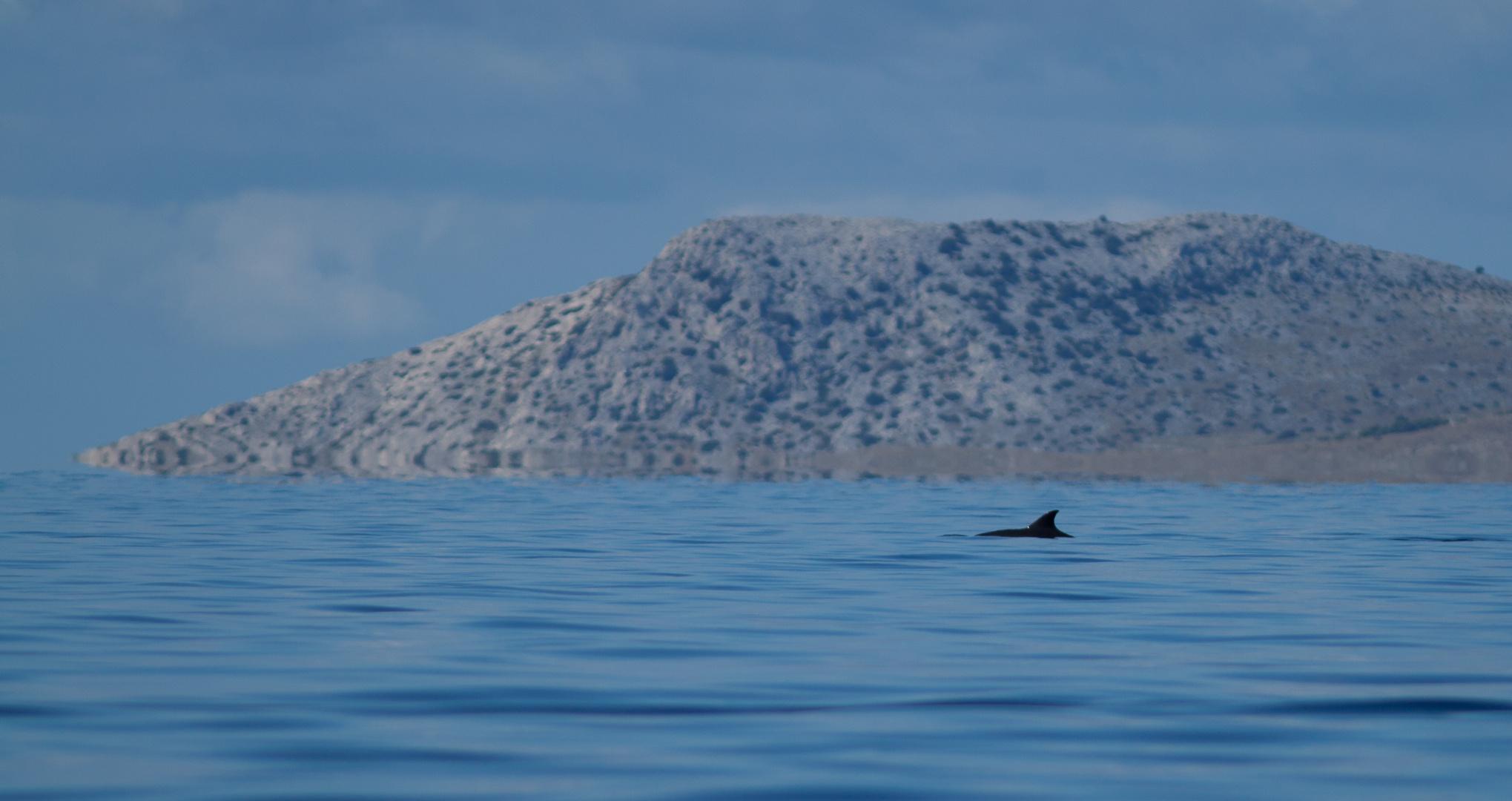 Delfin vor Murter