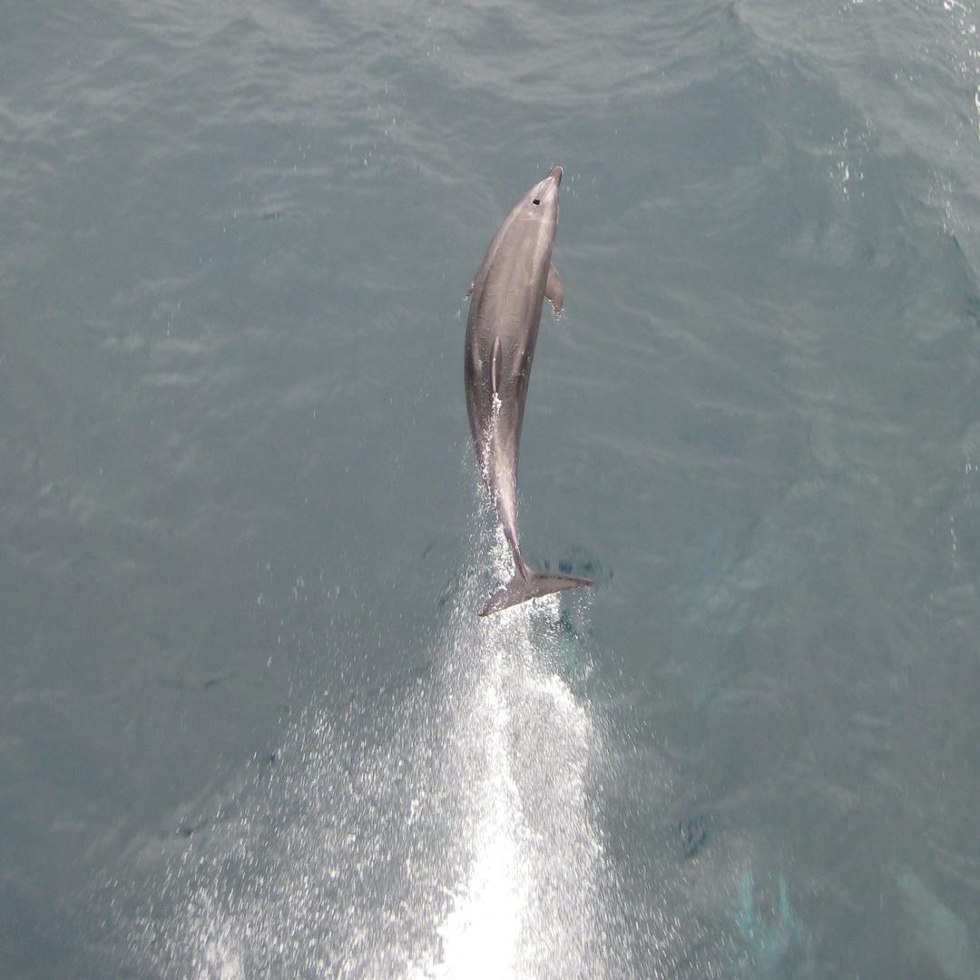 Delfin vor Peru