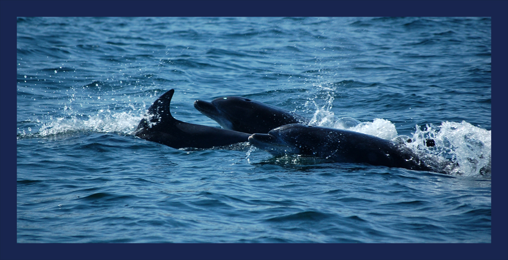 Delfine in der Bucht vor Sagres