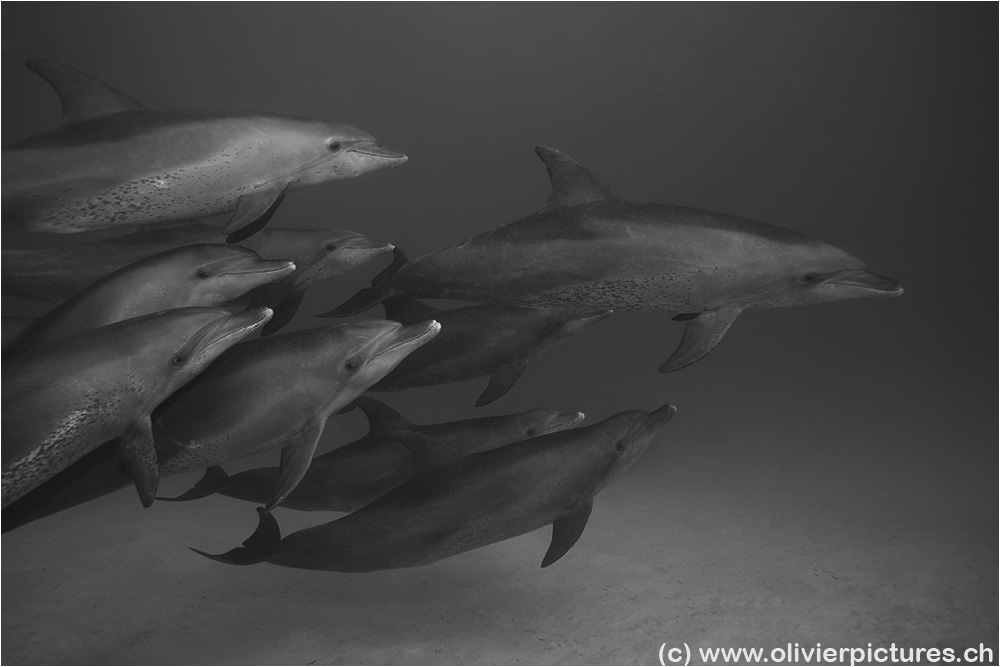 Delfine, mal in sw