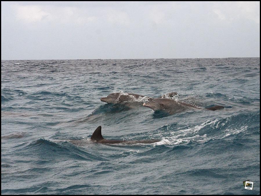 Delfine vor Sansibar