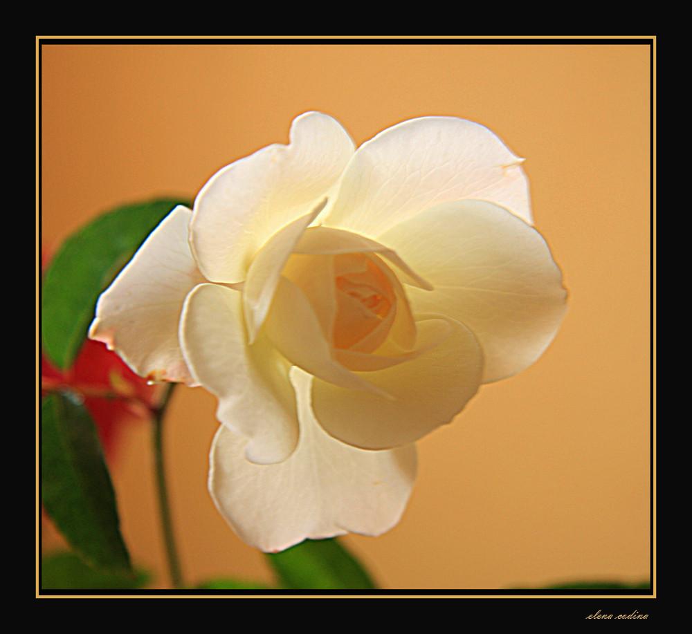 Delicada Rosa