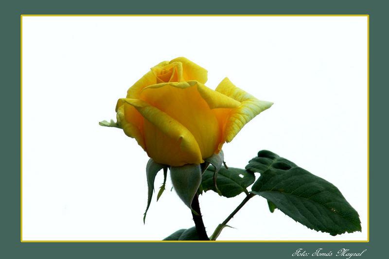 Delicadeza en amarillo