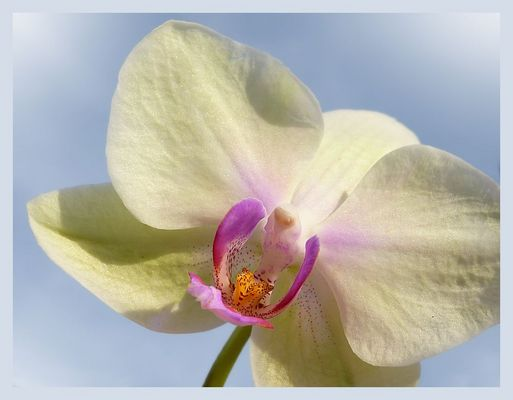 Delicate orchid