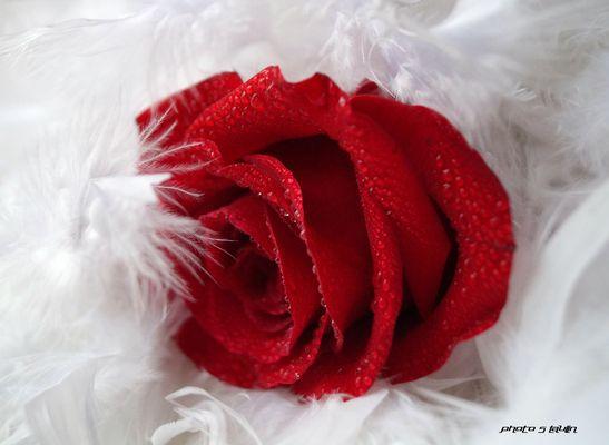 Délicatesse de rose et plume