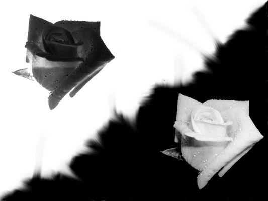 delicatezza - spine .. nero - bianco ... LA ROSA