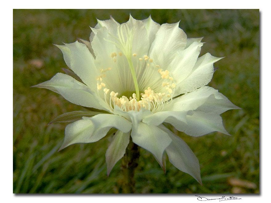 Delicatissimo fiore bianco in cartolina