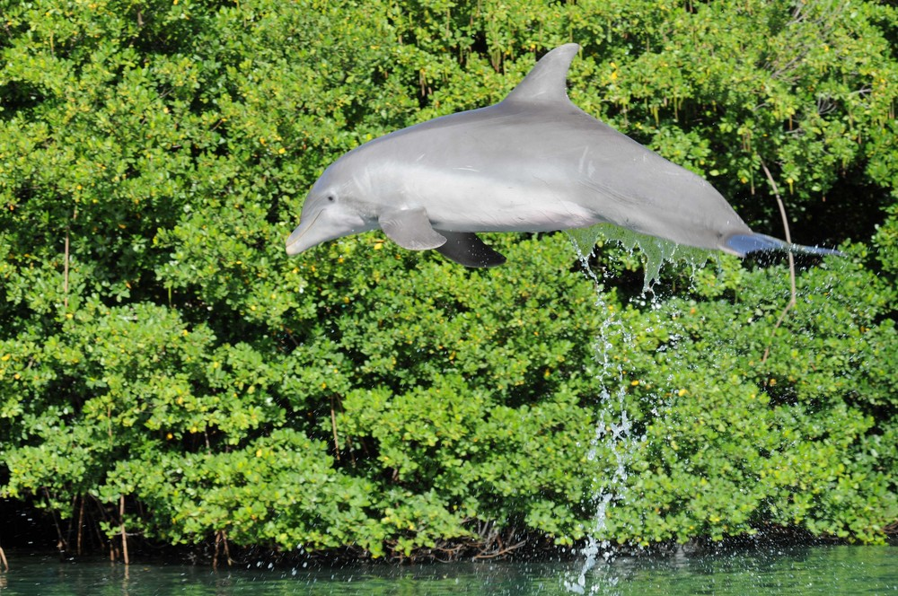 Delphin in Aktion