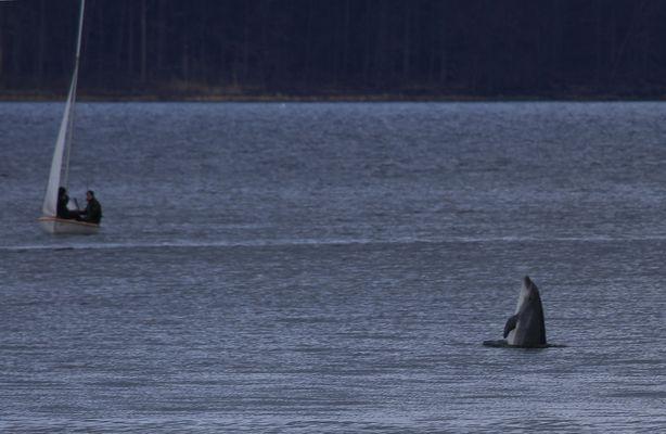Delphin in Flensburg