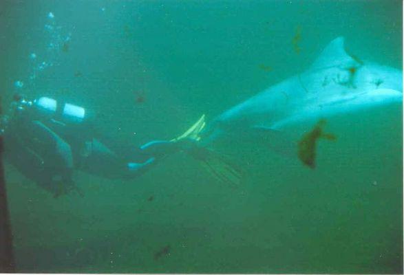 Delphin und Taucher