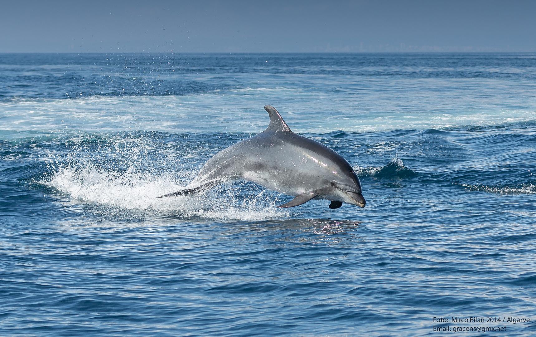 Delphin vor der Küste Portugals
