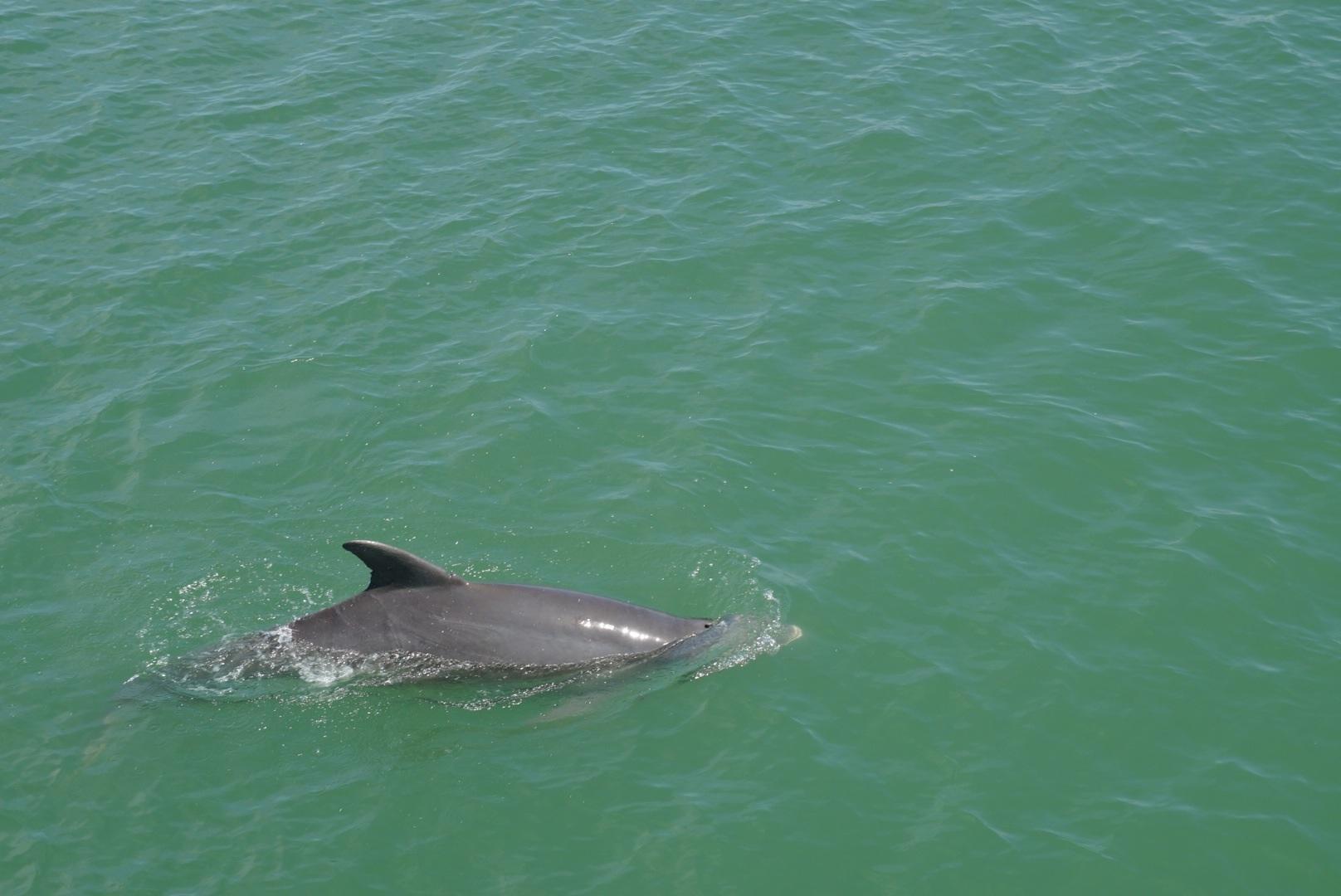 Delphine am Pier von Naples