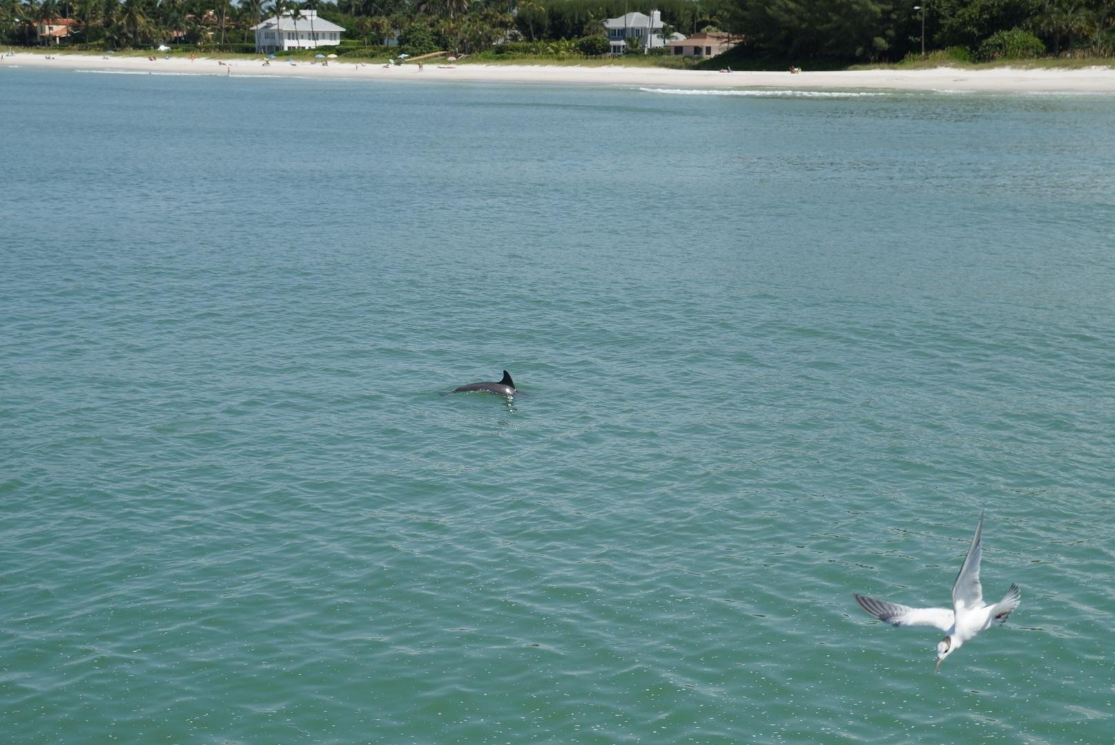 Delphine am Strand von Naples