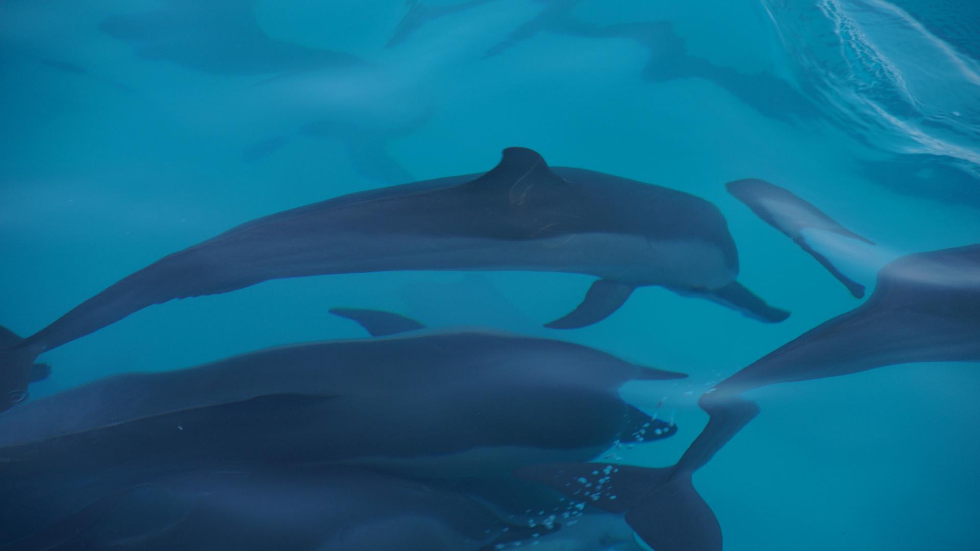 Delphine auf den Malediven