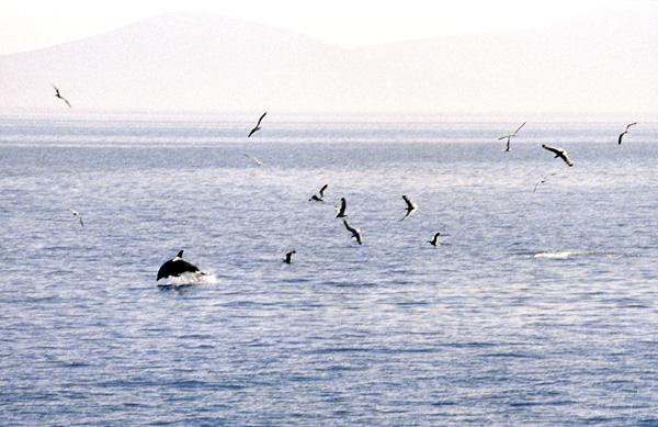 Delphine vor Methana im Februar 96