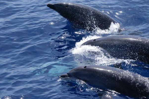 Delphinfamilie vor Gran Canaria