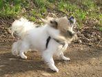 Dem kleinen Chihuahua Nando juckt das Fell!