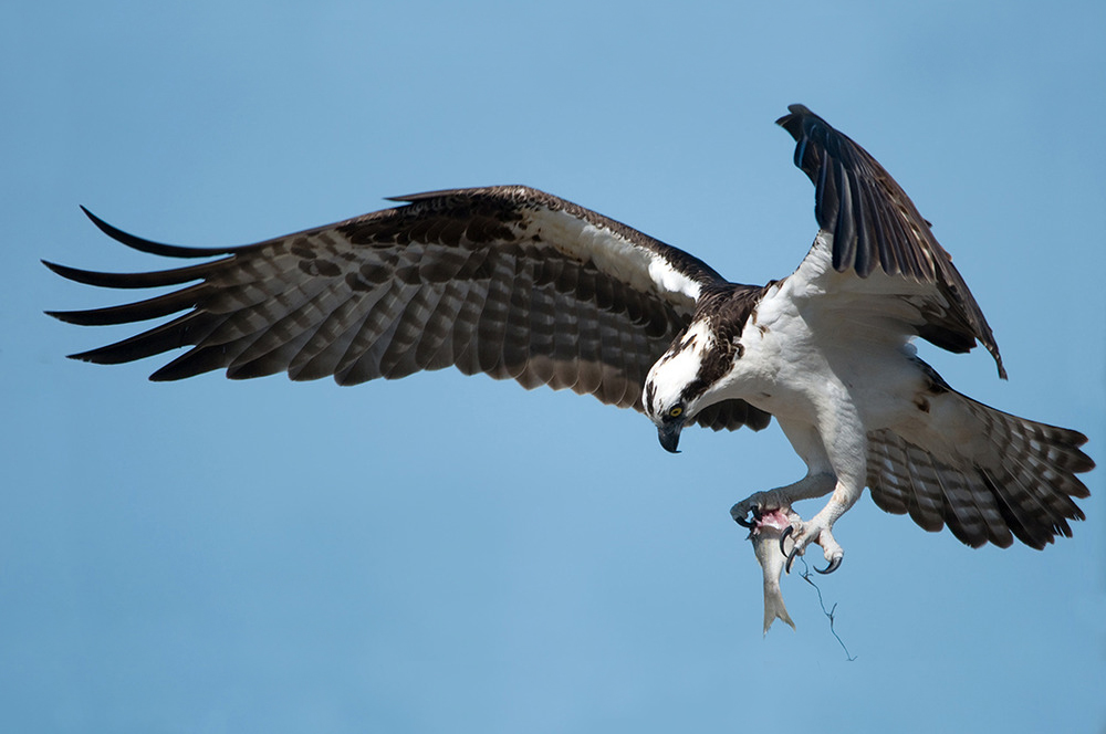 Dem North American Osprey...