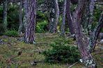 Dem rauhen Klima gewachsen die alten Bäume im Naturschutzgebiet