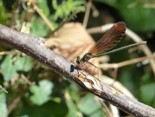 Demoiselle : Caloptéryx vierge (Calopteryx virgo ) femelle