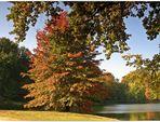 Den Anfang machte die Sumpfeiche (Quercus palustris) ..