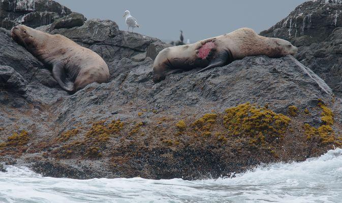 den Angriff des Orcas