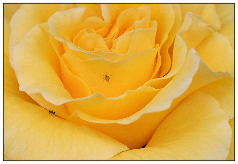 den Duft der Rose ....