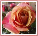 Den fc-lern eine Rose zu Pfingsten