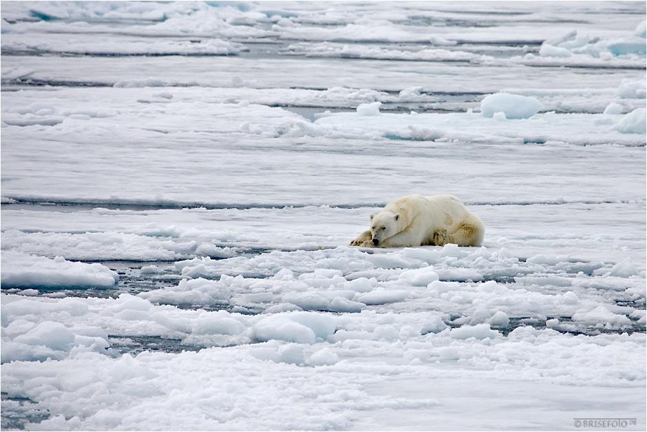 Den Polarbär hat´s wohl umgehauen....