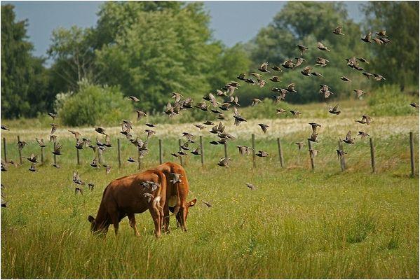 Den Rindern gehen die Stare