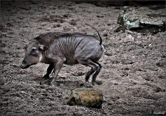 Den wilden Schweinsgalopp