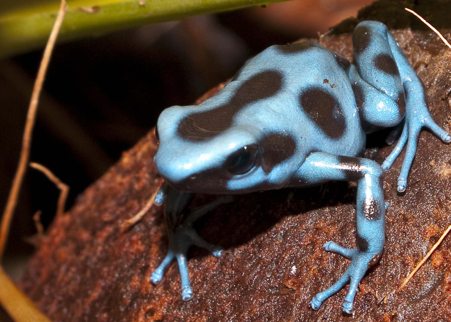 dendrobate auratus bleu