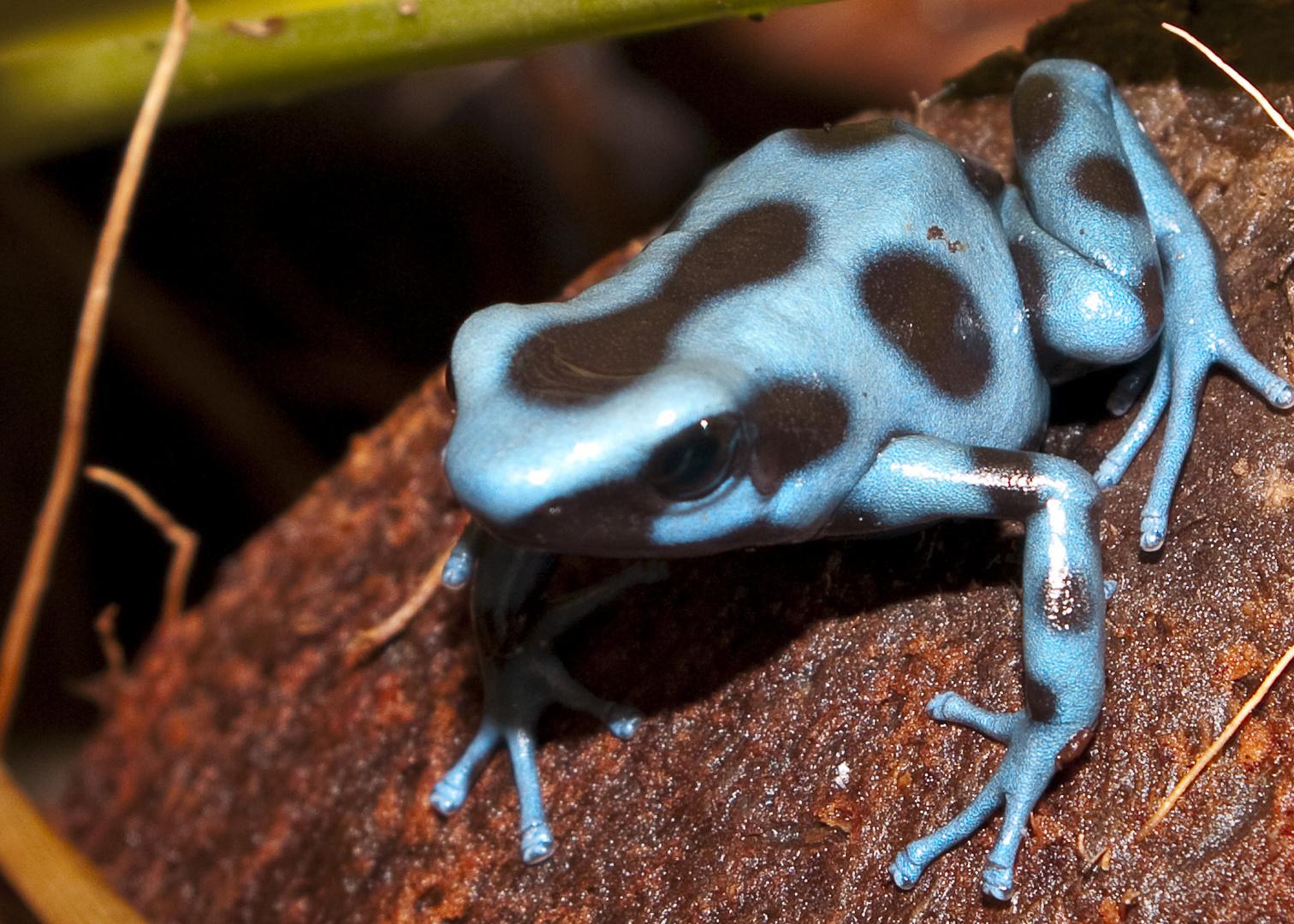 dendrobate auratus bleue