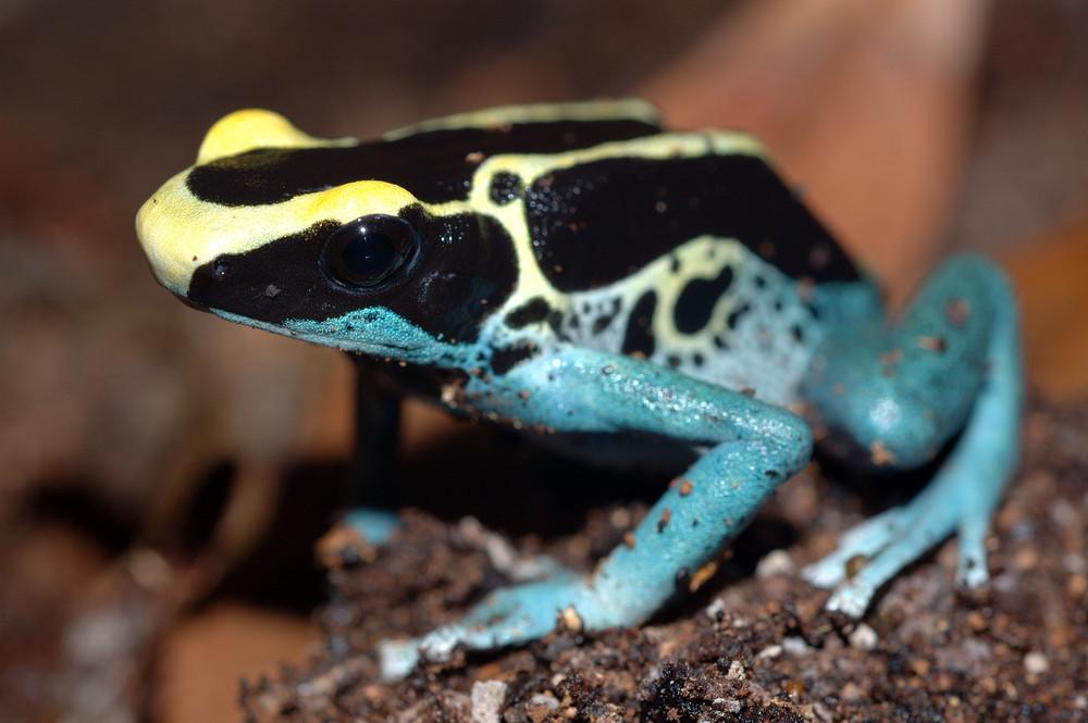 Dendrobates Tinctorius - Poison Arrow Frog