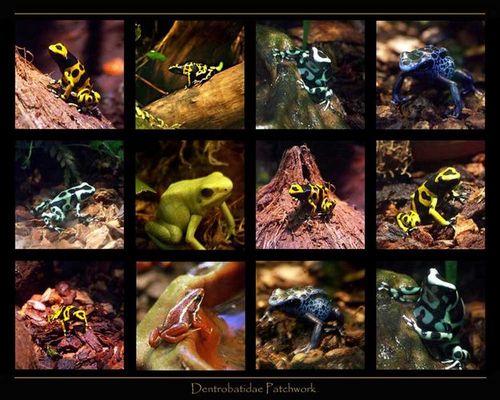 Dendrobatidae Patchwork