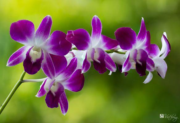 Dendrobium #2