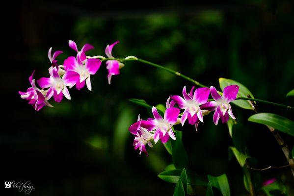 Dendrobium #6