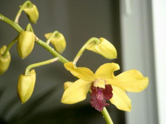 Dendrobium