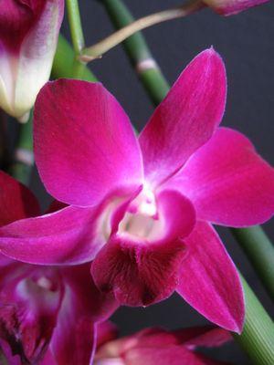Dendrobium Hybride