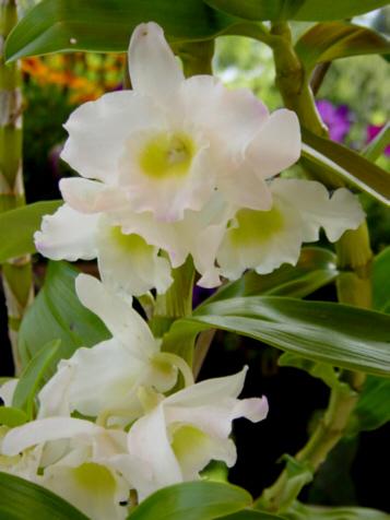 Dendrobium zeigt ihren ersten Blütenflor