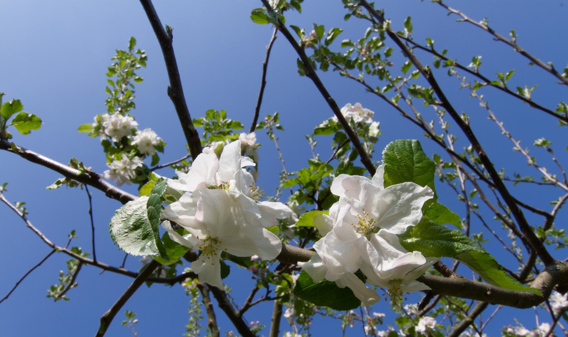 Denn mein Apfelbaum wächst in den Himmel...