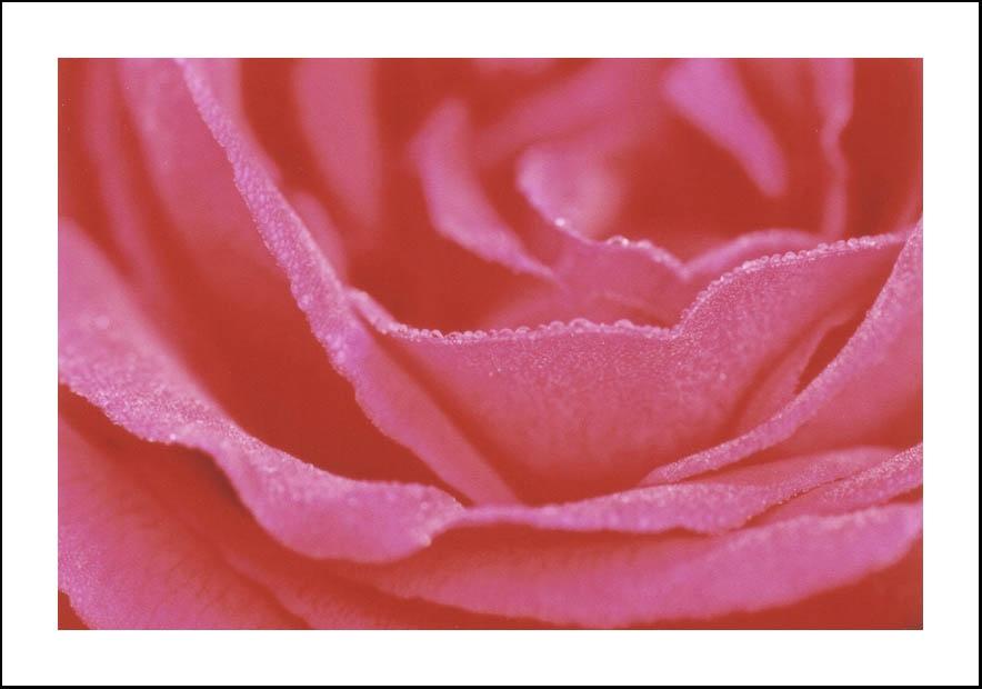 Dentelle de rose