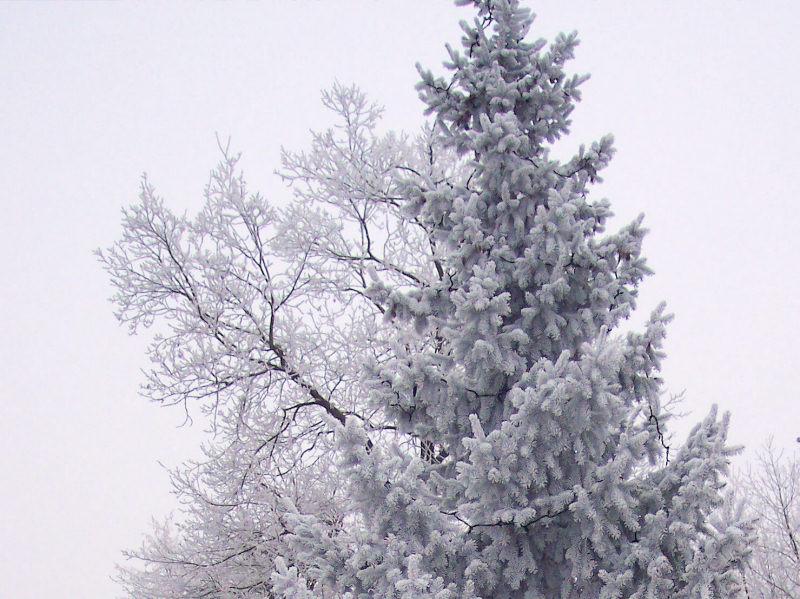 Dépot de givre sur arbres