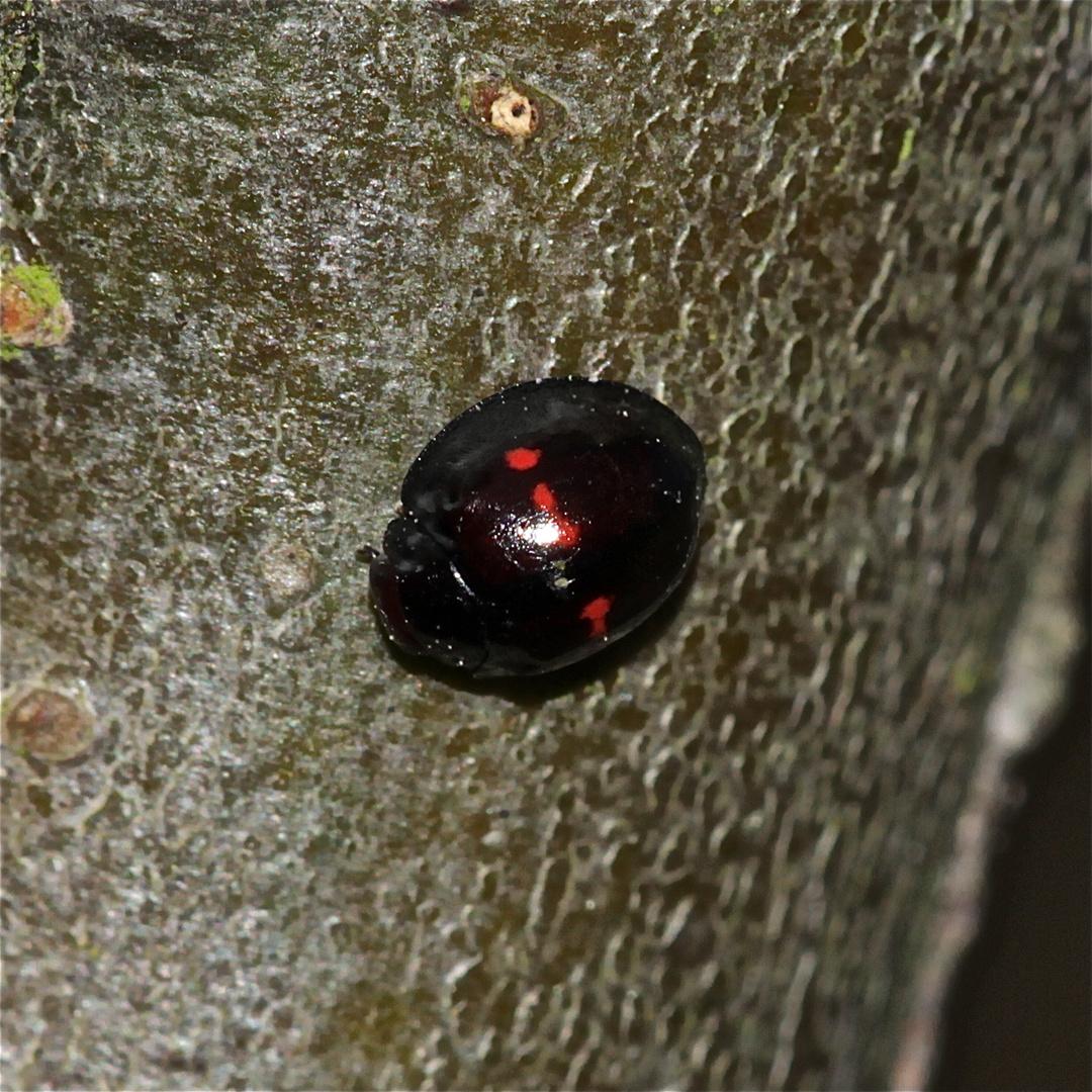 Der 3 mm große Strichfleckige Schildlaus-Marienkäfer (Chiloporus bipustulatus)
