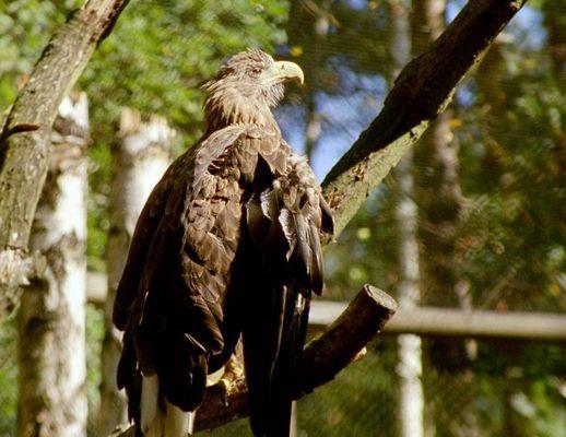 Der Adler im Käfig