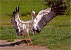 Der Adler, ööm nöö der Storch ist gelandet